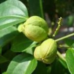 Croton Oil and Its Numerous Benefits